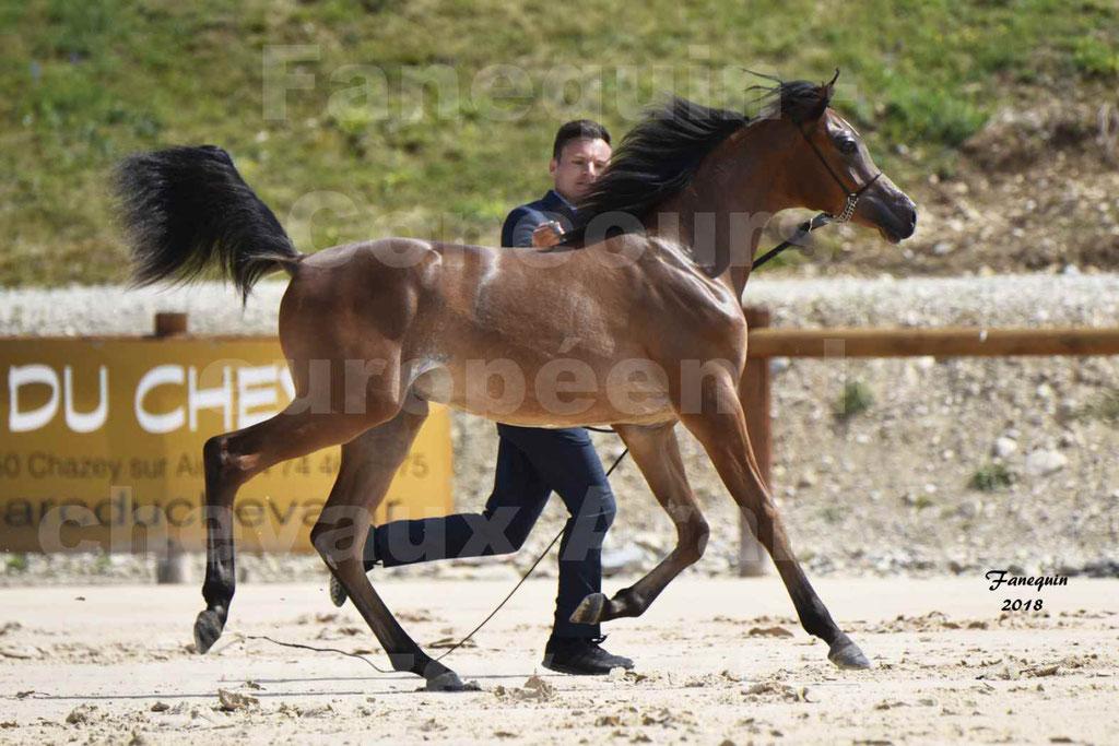 Concours Européen de chevaux Arabes à Chazey sur Ain 2018 - BO AS PRINCE SHAKAR - Notre Sélection - 4