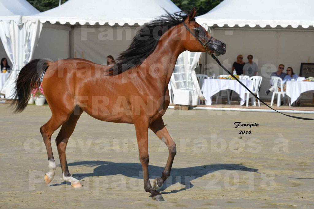 Championnat de FRANCE des chevaux Arabes à Pompadour en 2018 - SH CHARISMA - Notre Sélection - 04