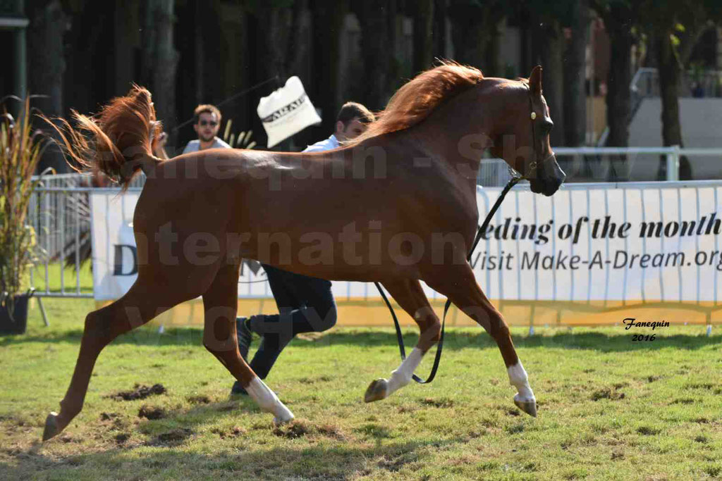 International Arabian Horse Show B de VICHY 2016 - DZHARI NUNKI - Notre Sélection - 33