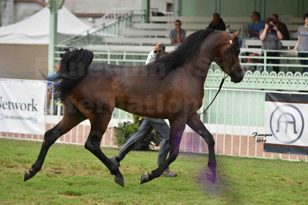 International Arabian Horse Show B de VICHY 2016 - MILLIAR - Notre Sélection - 12