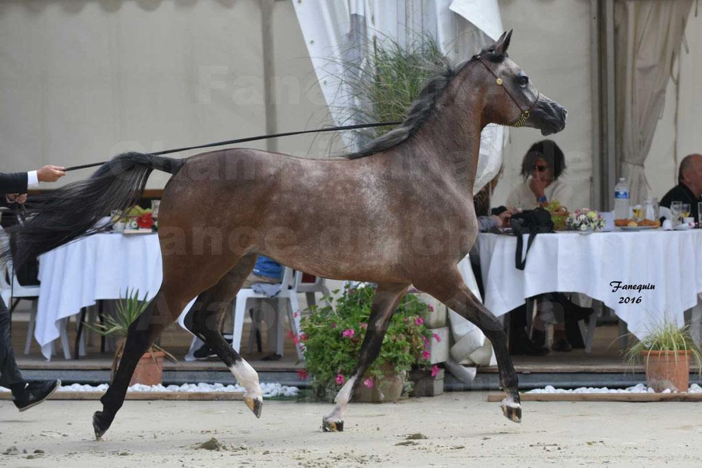 Championnat de France de chevaux Arabes 2016 à Pompadour - AÏNHOA MA PTIT FOLIE - 10