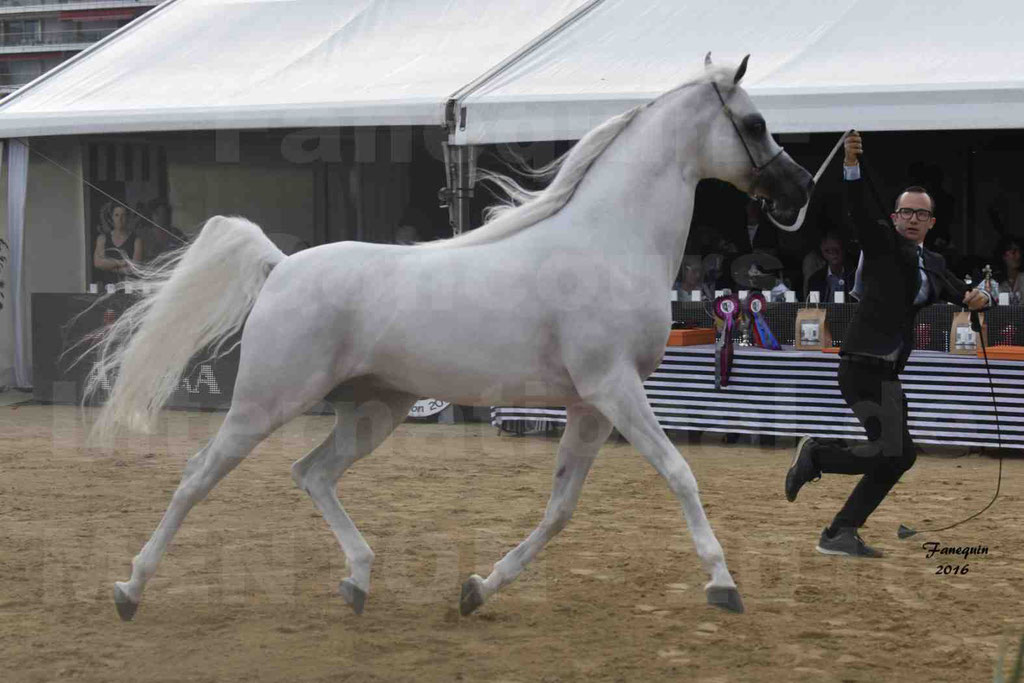 Show International de chevaux ARABES de MENTON 2016 - AJA ANGELO - 09