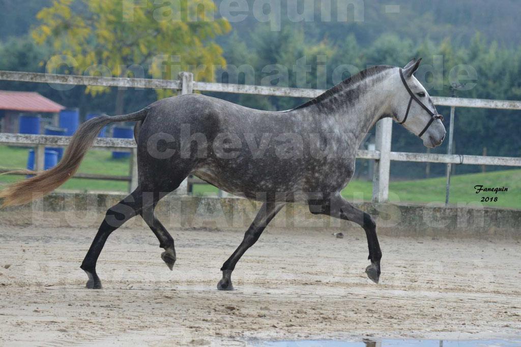 Confirmation de chevaux LUSITANIENS aux Haras d'UZES Novembre 2018 - JAVA DO REAL - 32
