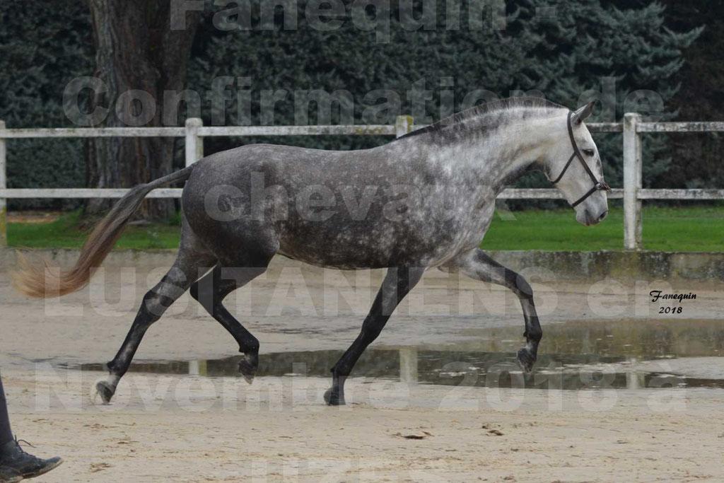 Confirmation de chevaux LUSITANIENS aux Haras d'UZES Novembre 2018 - JAVA DO REAL - 07