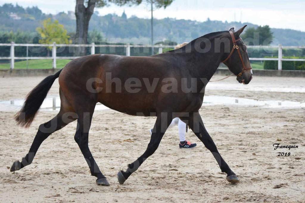 Confirmation de chevaux LUSITANIENS aux Haras d'UZES Novembre 2018 - LOUNA DU CASTEL - 03