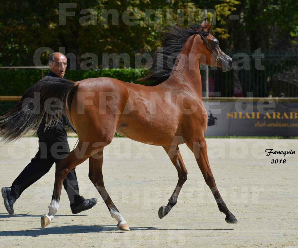 Championnat de FRANCE des chevaux Arabes à Pompadour en 2018 - SH CHARISMA - Notre Sélection - 29