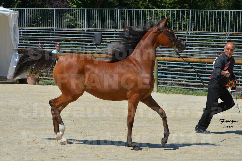 Championnat de FRANCE des chevaux Arabes à Pompadour en 2018 - SH CHARISMA - Notre Sélection - 20