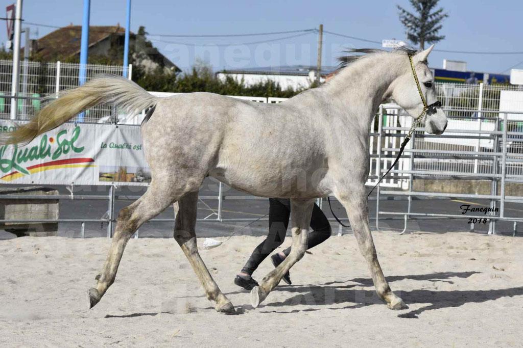 Concours d'élevage de Chevaux Arabes - Demi Sang Arabes - Anglo Arabes - ALBI les 6 & 7 Avril 2018 - NAÏM DE L'OLIVIER - Notre Sélection - 14