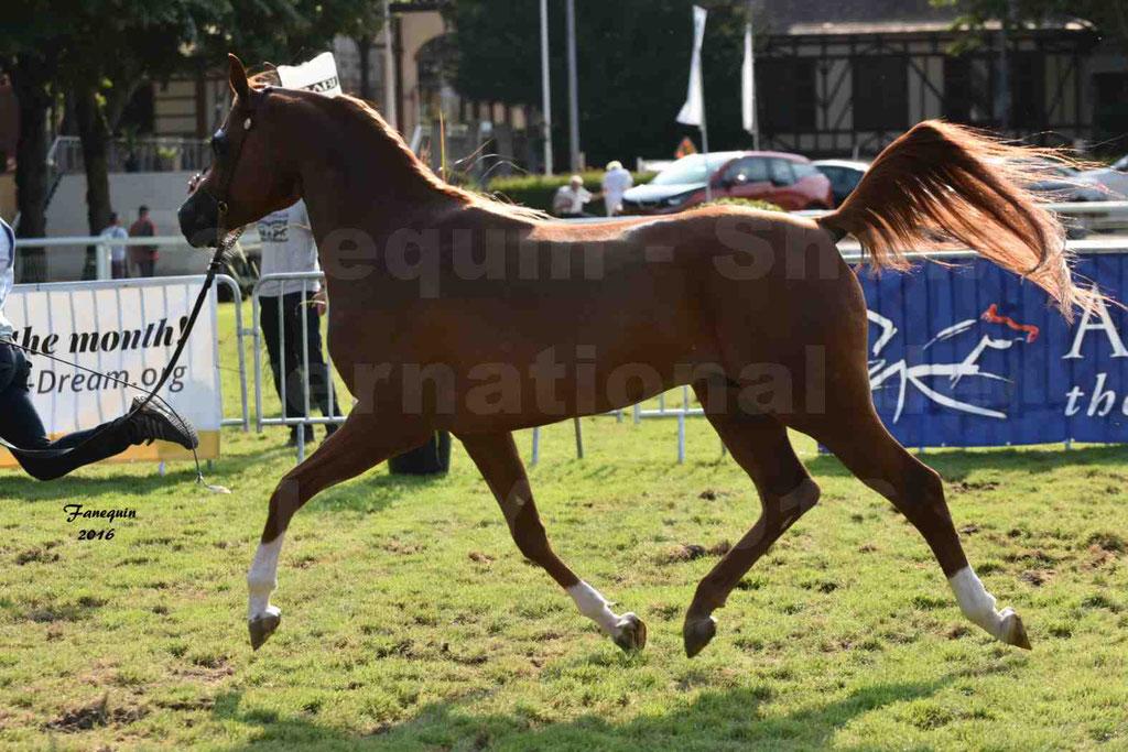 International Arabian Horse Show B de VICHY 2016 - DZHARI NUNKI - Notre Sélection - 30