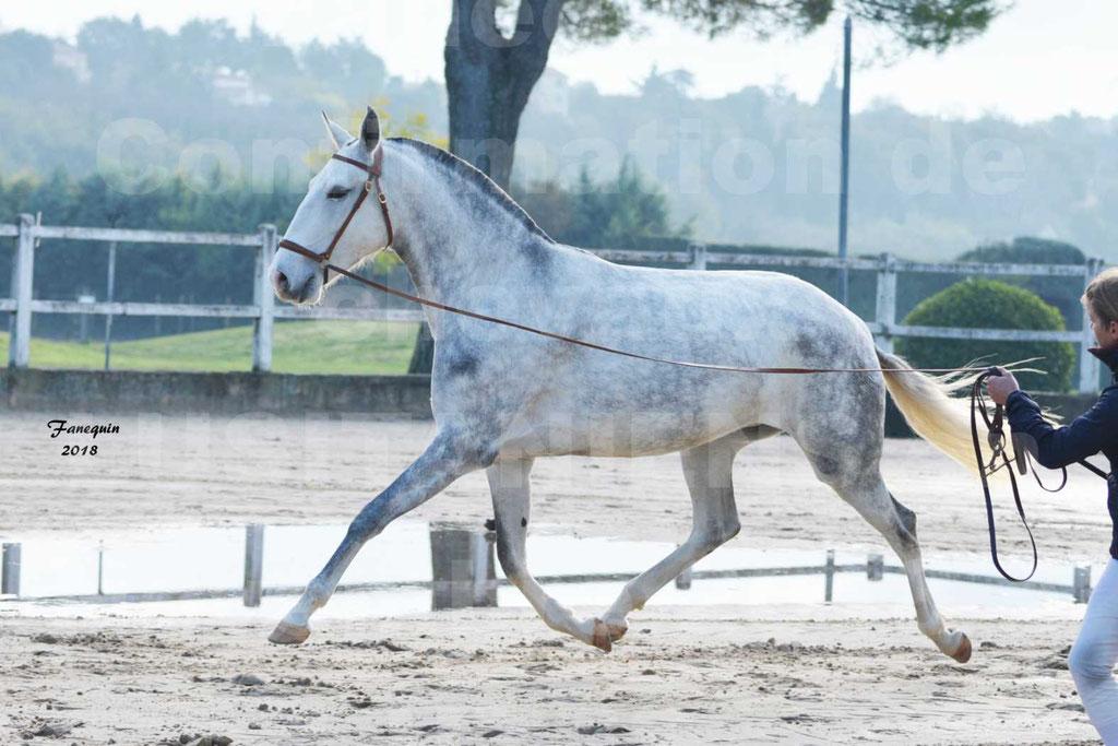 Confirmation de chevaux LUSITANIENS aux Haras d'UZES Novembre 2018 - LUTECE DU CASTEL - 13
