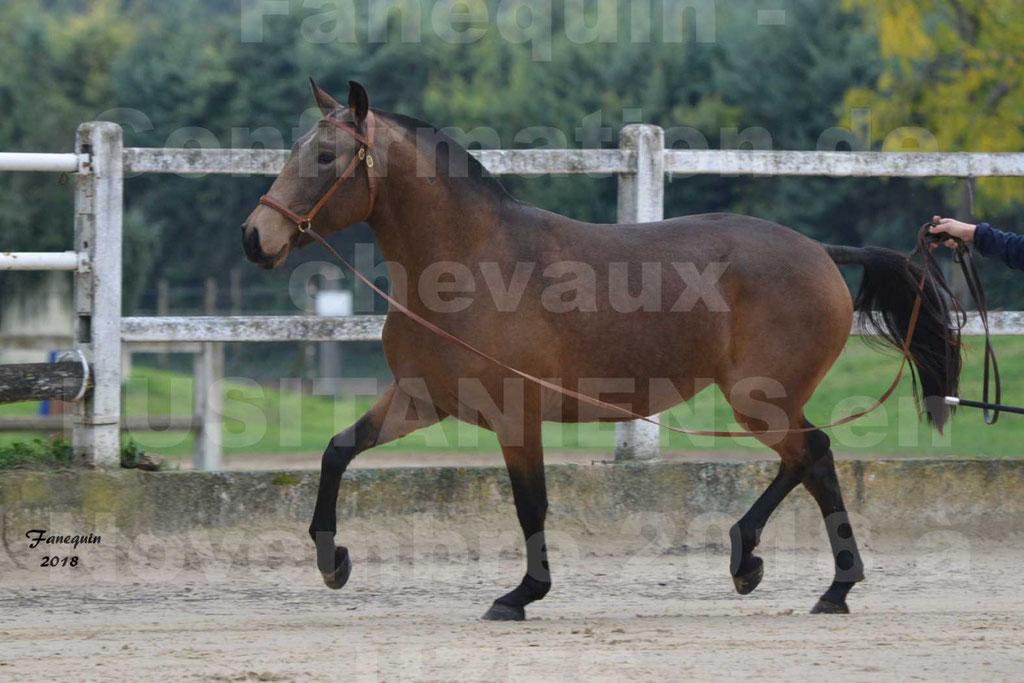 Confirmation de chevaux LUSITANIENS aux Haras d'UZES Novembre 2018 - LAMOUR DU CASTEL - 03