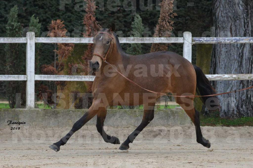 Confirmation de chevaux LUSITANIENS aux Haras d'UZES Novembre 2018 - LAMOUR DU CASTEL - 06