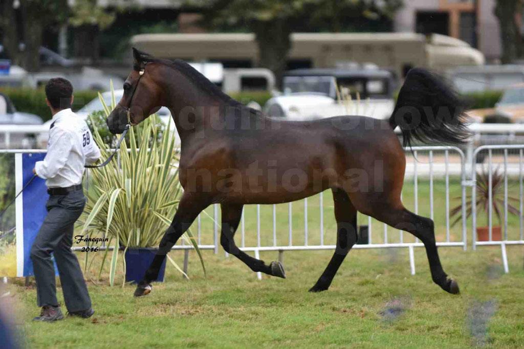 International Arabian Horse Show B de VICHY 2016 - MILLIAR - Notre Sélection - 24
