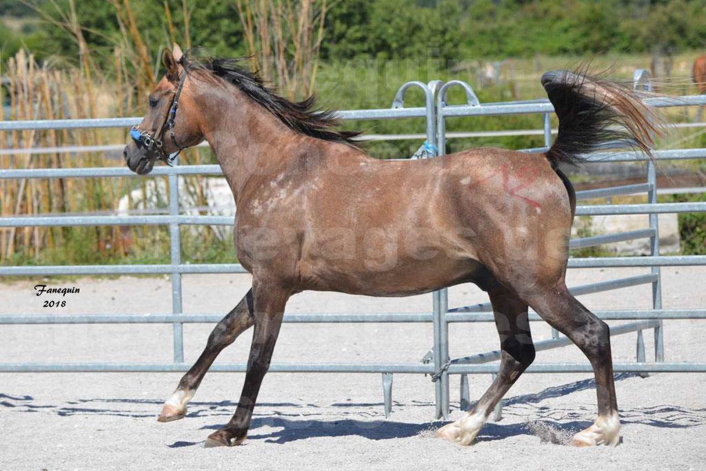 Concours d'Elevage de chevaux Arabes  le 27 juin 2018 à la BOISSIERE - MAREK LOTOIS - 01