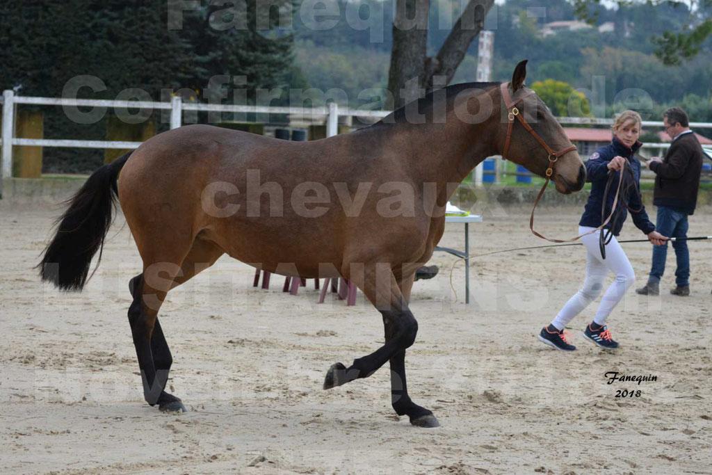 Confirmation de chevaux LUSITANIENS aux Haras d'UZES Novembre 2018 - LAMOUR DU CASTEL - 09