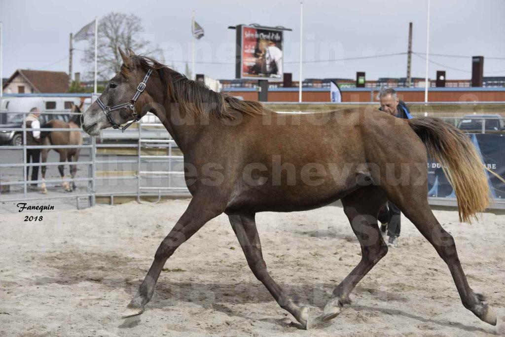 Concours d'élevage de Chevaux Arabes - Demi Sang Arabes - Anglo Arabes - ALBI les 6 & 7 Avril 2018 - FARAH DU CARRELIE - Notre Sélection - 02