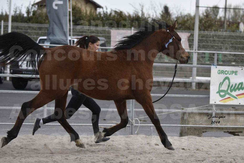 Concours d'élevage de Chevaux Arabes - Demi Sang Arabes - Anglo Arabes - ALBI les 6 & 7 Avril 2018 - ELEGANTE PICAREL - Notre Sélection - 5