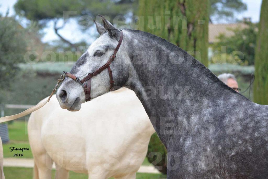 Confirmation de chevaux LUSITANIENS aux Haras d'UZES Novembre 2018 - JOYAS - Portraits - 1