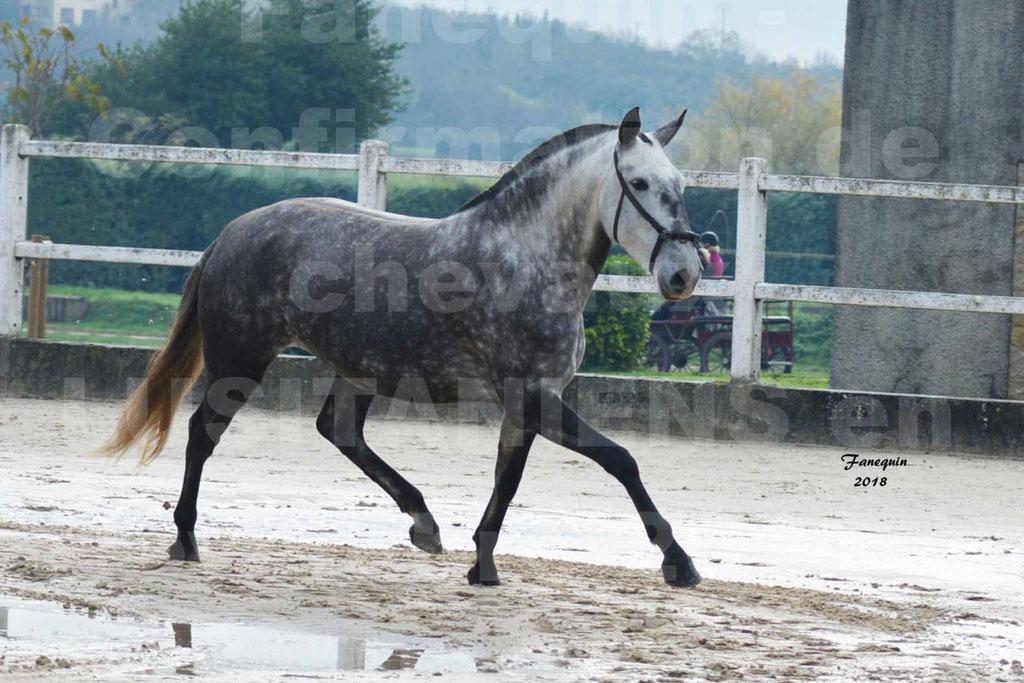 Confirmation de chevaux LUSITANIENS aux Haras d'UZES Novembre 2018 - JAVA DO REAL - 35