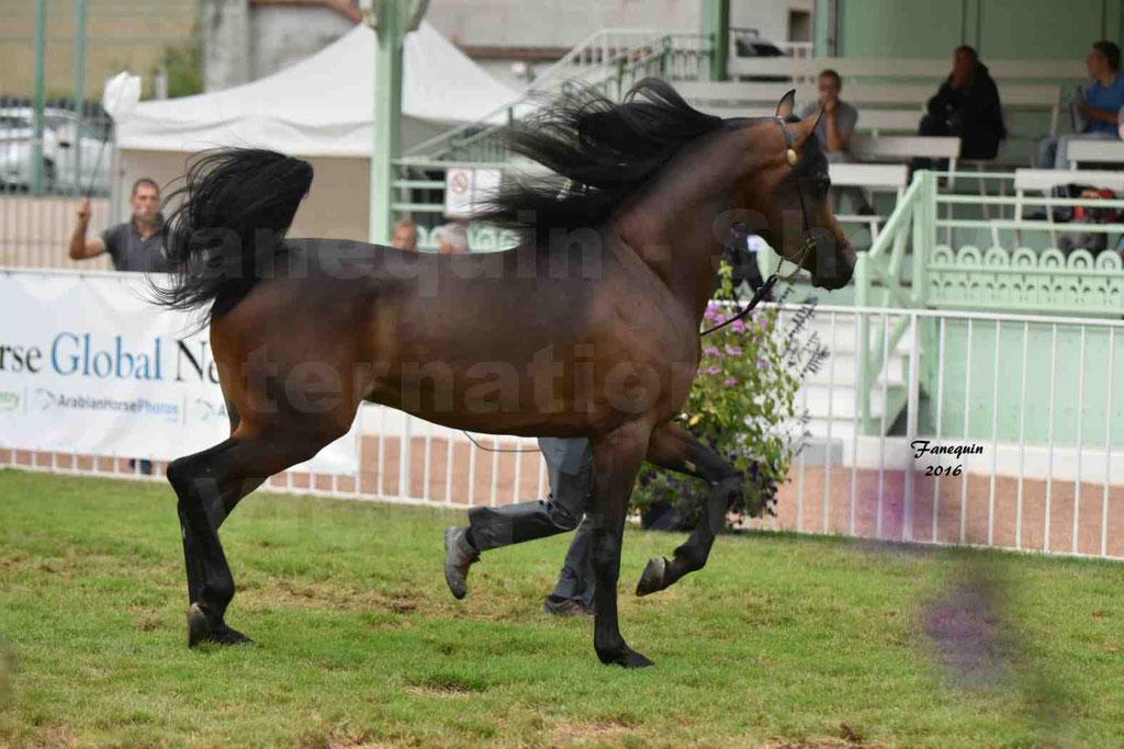 International Arabian Horse Show B de VICHY 2016 - MILLIAR - Notre Sélection - 11