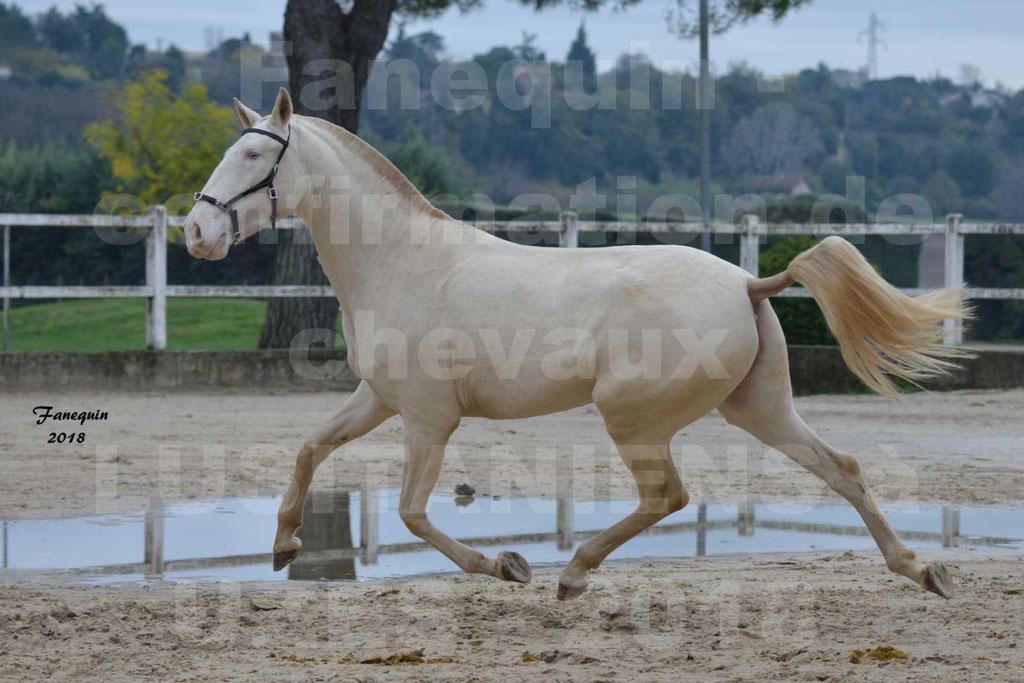 Confirmation de chevaux LUSITANIENS aux Haras d'UZES Novembre 2018 - LOLIBLOU - 14