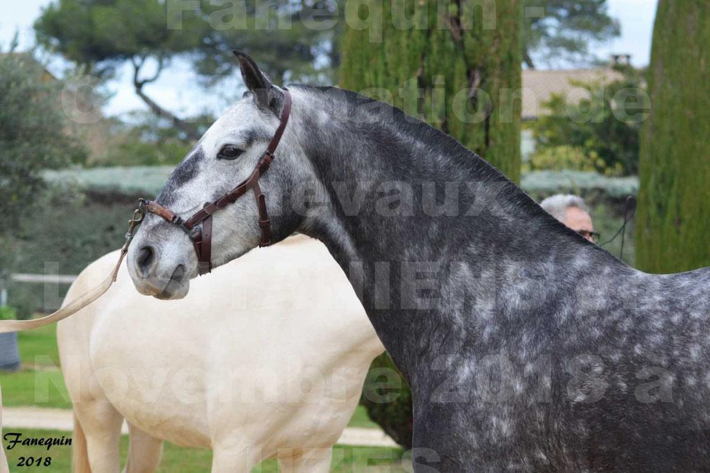 Confirmation de chevaux LUSITANIENS aux Haras d'UZES Novembre 2018 - JOYAS - Portraits - 4
