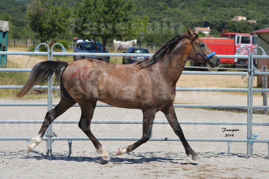 Concours d'Elevage de chevaux Arabes  le 27 juin 2018 à la BOISSIERE - MAREK LOTOIS - 11