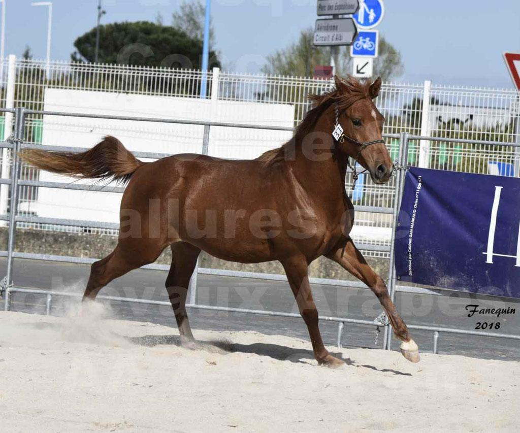 Concours d'élevage de Chevaux Arabes - Demi Sang Arabes - Anglo Arabes - ALBI les 6 & 7 Avril 2018 - GRIOU DU GRIOU - Notre Sélection - 04