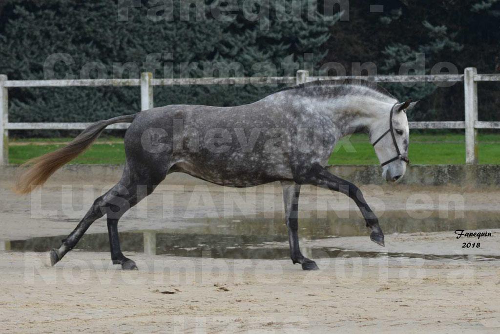 Confirmation de chevaux LUSITANIENS aux Haras d'UZES Novembre 2018 - JAVA DO REAL - 03