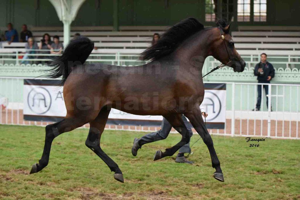 International Arabian Horse Show B de VICHY 2016 - MILLIAR - Notre Sélection - 19