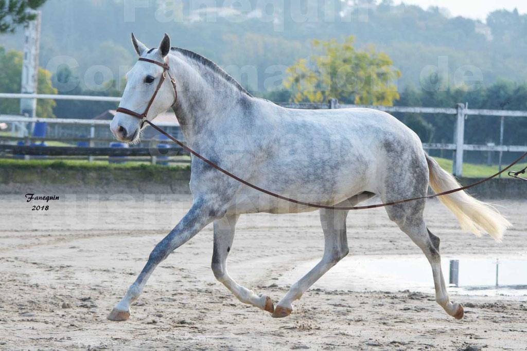 Confirmation de chevaux LUSITANIENS aux Haras d'UZES Novembre 2018 - LUTECE DU CASTEL - 15