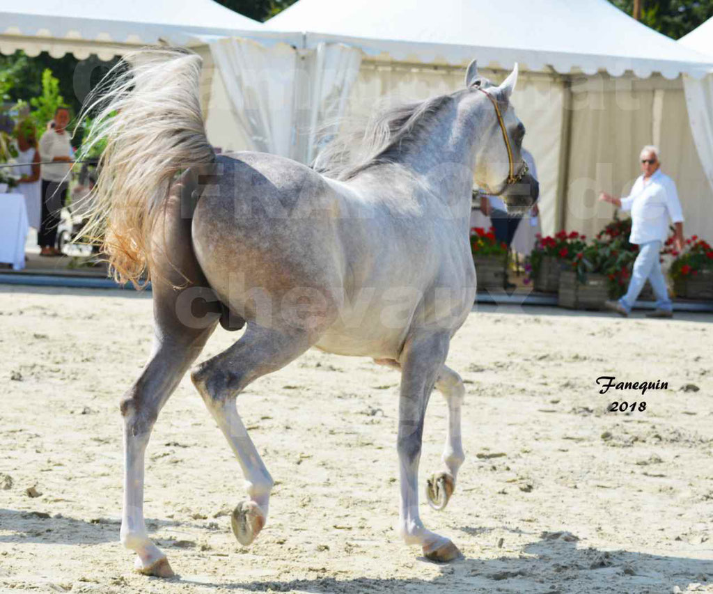 Championnat de FRANCE de chevaux Arabes à Pompadour en 2018 - SH CHAGALL - Notre Sélection - 05