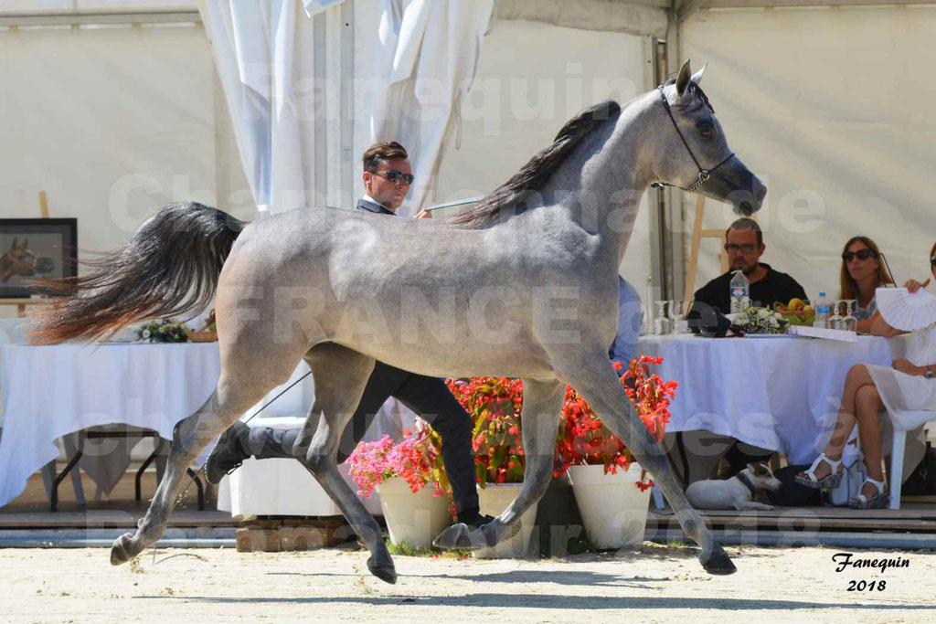 Championnat de FRANCE de chevaux Arabes à Pompadour en 2018 - SANIA DU CAYRON - Notre Sélection - 04