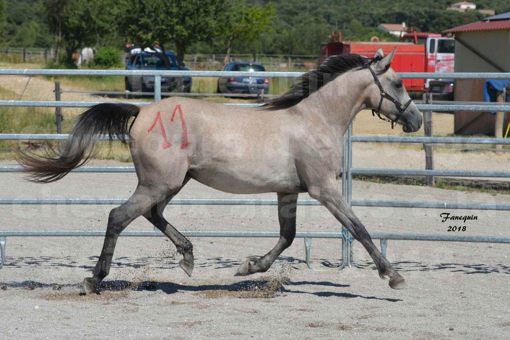 Concours d'Elevage de chevaux Arabes  le 27 juin 2018 à la BOISSIERE - GAZRAK D'AURIERES - 05