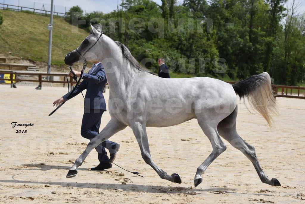 Concours Européen de chevaux Arabes à Chazey sur Ain 2018 - FATIN ALBIDAYER - Notre Sélection - 08
