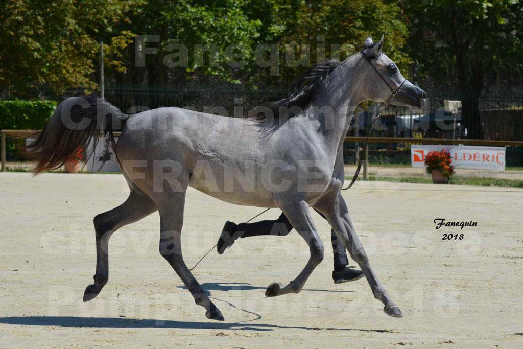 Championnat de FRANCE de chevaux Arabes à Pompadour en 2018 - SANIA DU CAYRON - Notre Sélection - 20