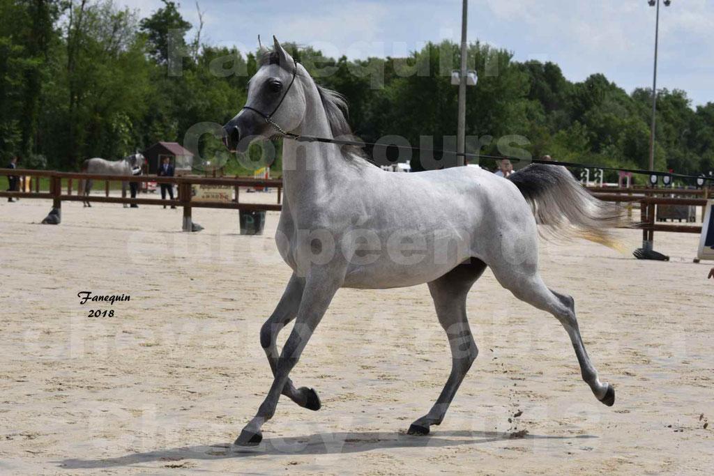Concours Européen de chevaux Arabes à Chazey sur Ain 2018 - FATIN ALBIDAYER - Notre Sélection - 04