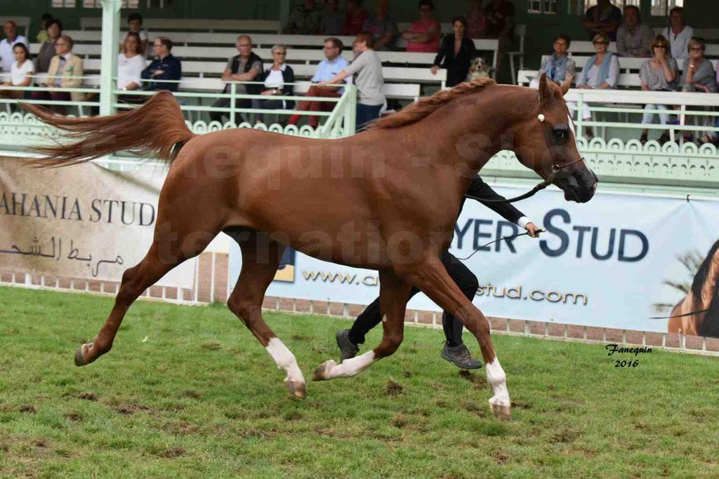 International Arabian Horse Show B de VICHY 2016 - DZHARI NUNKI - Notre Sélection - 05