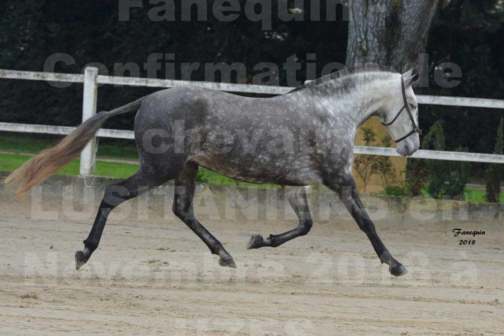 Confirmation de chevaux LUSITANIENS aux Haras d'UZES Novembre 2018 - JAVA DO REAL - 30