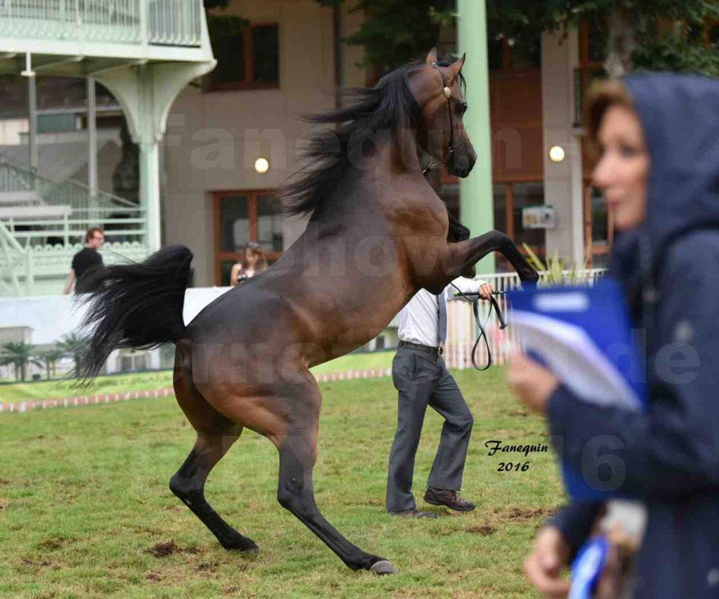 """International Arabian Horse Show B de VICHY 2016 - MILLIAR - Notre Sélection - """"Cabrages"""" - 4"""