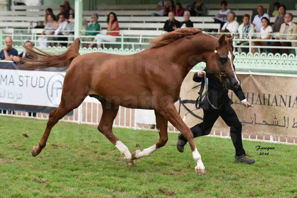 International Arabian Horse Show B de VICHY 2016 - DZHARI NUNKI - Notre Sélection - 02