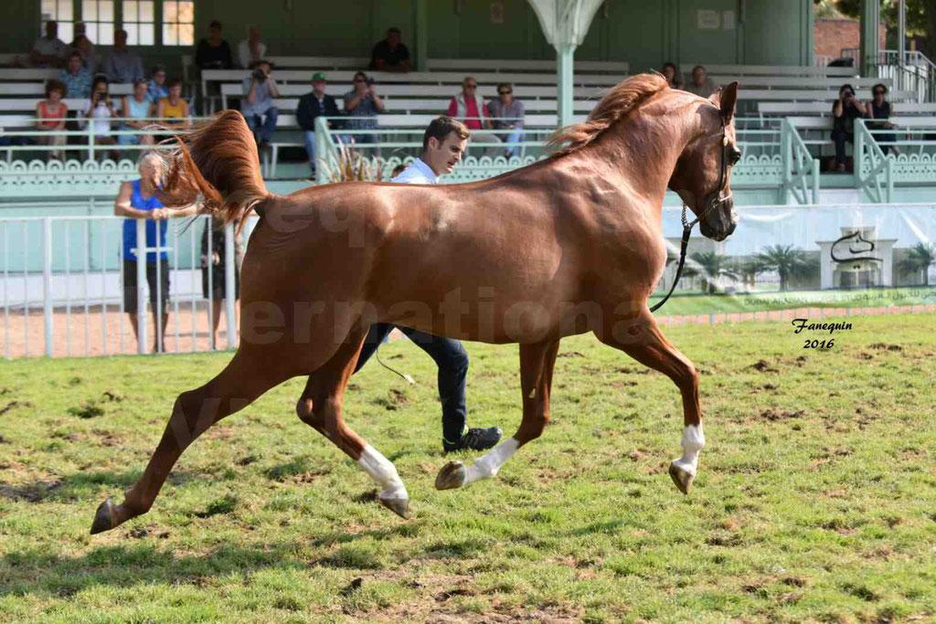 International Arabian Horse Show B de VICHY 2016 - DZHARI NUNKI - Notre Sélection - 25