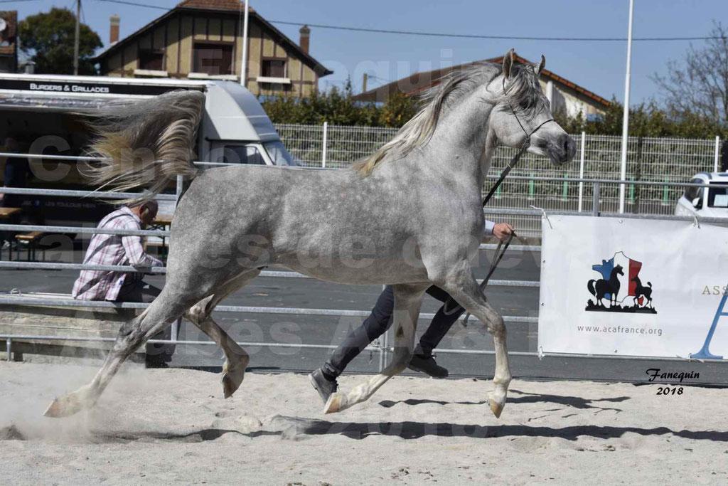 Concours d'élevage de Chevaux Arabes - Demi Sang Arabes - Anglo Arabes - ALBI les 6 & 7 Avril 2018 - SHAKEEL DE LAFON - Notre Sélection - 4