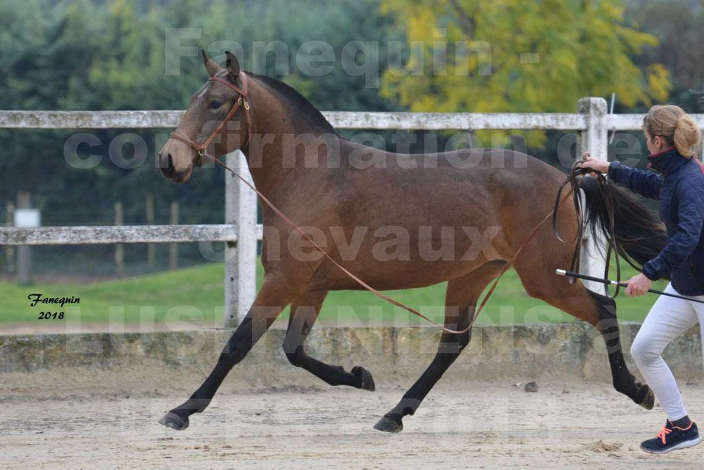 Confirmation de chevaux LUSITANIENS aux Haras d'UZES Novembre 2018 - LAMOUR DU CASTEL - 02