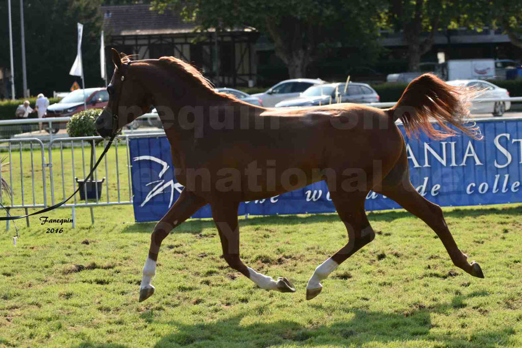 International Arabian Horse Show B de VICHY 2016 - DZHARI NUNKI - Notre Sélection - 28
