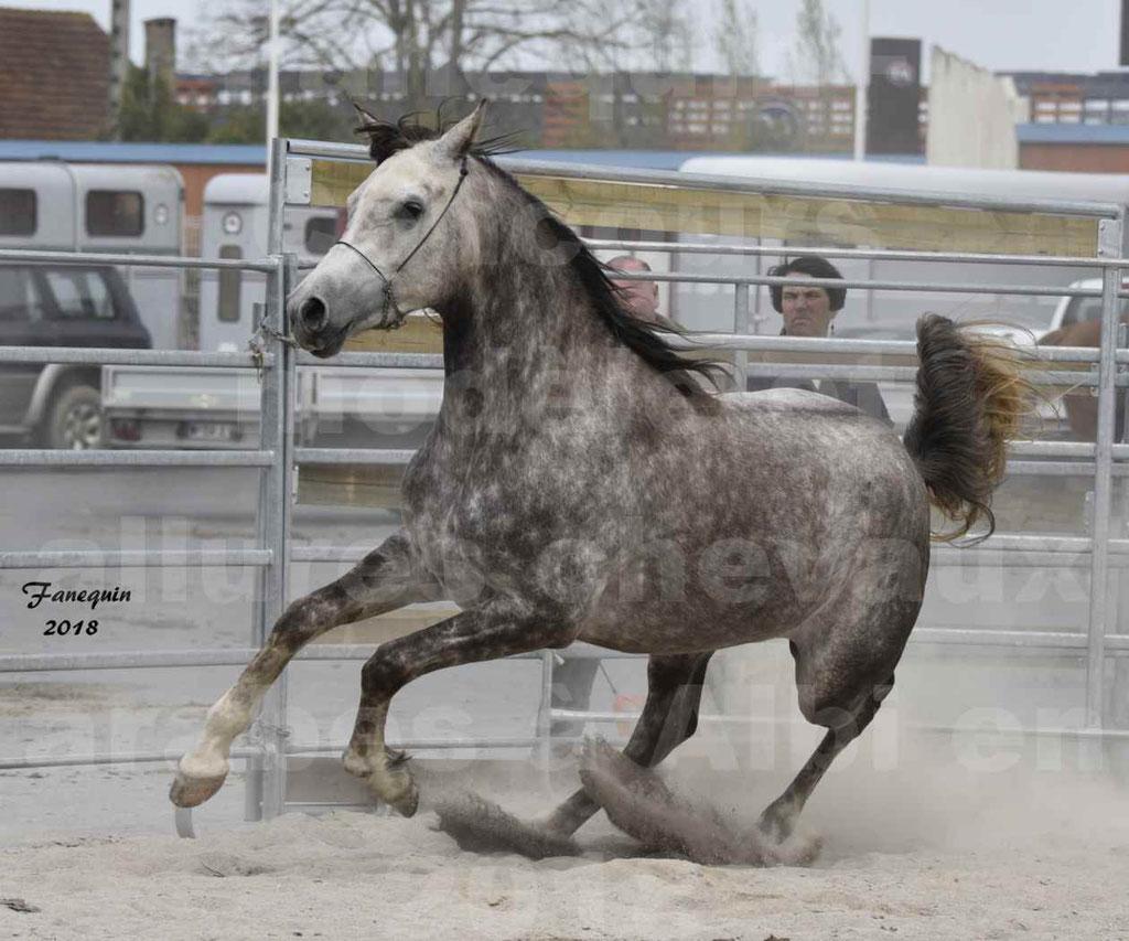 Concours d'élevage de Chevaux Arabes - Demi Sang Arabes - Anglo Arabes - ALBI les 6 & 7 Avril 2018 - PERCEVAL DE LAFON - Notre Sélection - 11