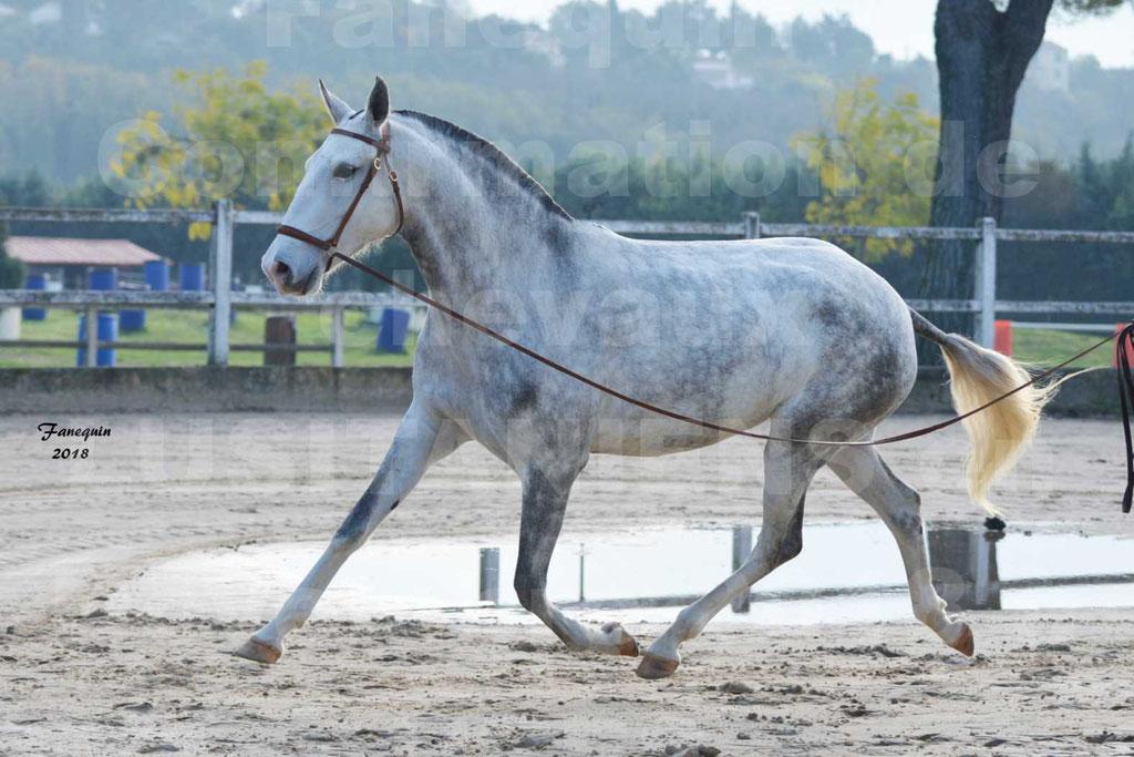 Confirmation de chevaux LUSITANIENS aux Haras d'UZES Novembre 2018 - LUTECE DU CASTEL - 14