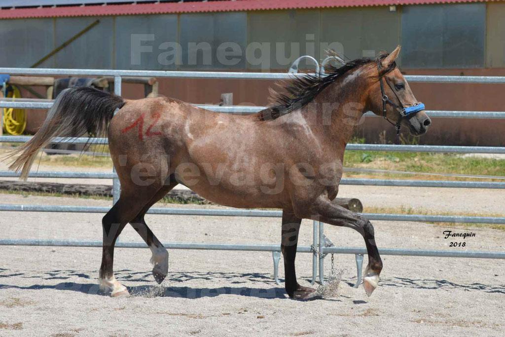 Concours d'Elevage de chevaux Arabes  le 27 juin 2018 à la BOISSIERE - MAREK LOTOIS - 13