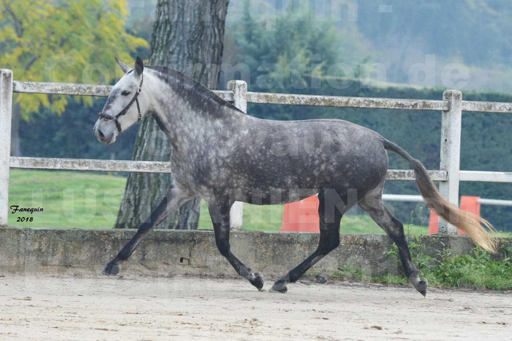 Confirmation de chevaux LUSITANIENS aux Haras d'UZES Novembre 2018 - JAVA DO REAL - 19