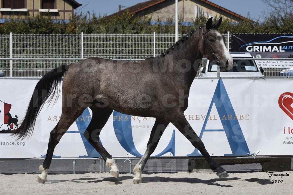 Concours d'élevage de Chevaux Arabes - Demi Sang Arabes - Anglo Arabes - ALBI les 6 & 7 Avril 2018 - GOLD OF MARTRETTES - Notre Sélection - 10